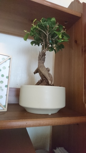Haruki the Bonsai
